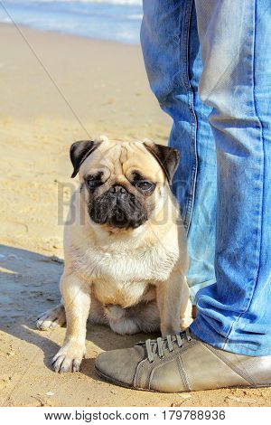 Pug Dog and owner of legs in jeans sitting on his hind legs on the beach and looks into the distance.