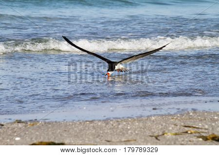 A black skimmer skims across the water in search for food.