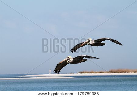 Two male pelicans flying over the water at Ft. Desoto St. Park, Florida
