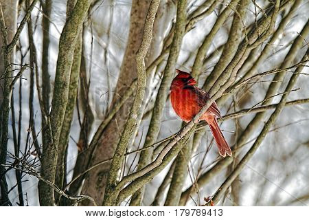 A male cardinal sitting in a tree with a snowy background.