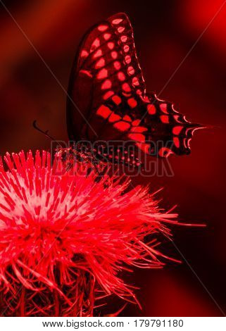 A red color enhanced swallowtail butterfly on a thistle flower