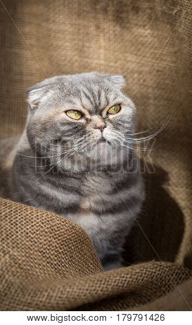 Scottish Fold cat sits in the folds of burlap and angry looks away.