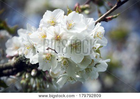 Spring blossom in close-up on tree in sunshine
