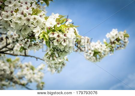 Spring blossom in full bloom against blue sky