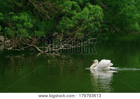 Beautiful white swan in a pond lake loch river.
