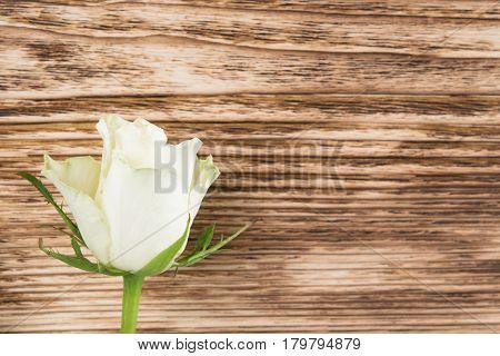 One white rose lies on a dark wooden background