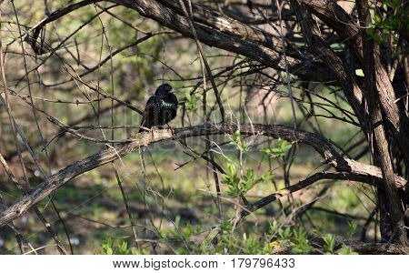 Starling Among Tree Branches In Spring