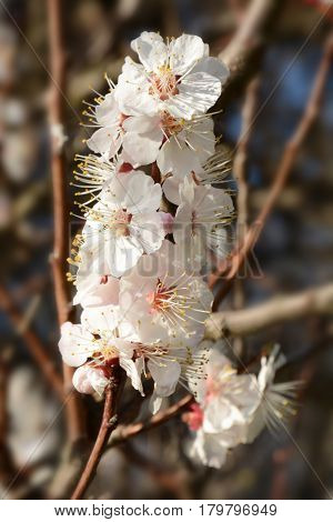 Flowering Branch On A Tree In The Spring Closeup