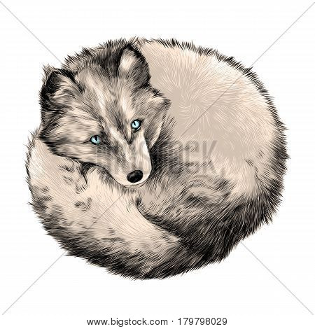 Arctic Fox lying on snow sketch vector graphics color picture