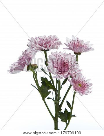 A purple chrysanthemum flower blooming isolated white backgound