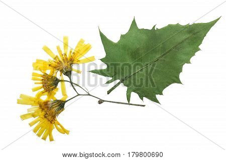 Pressed and dried flowers crepis paludosa isolated on white background. For use in scrapbooking pressed floristry (oshibana) or herbarium.