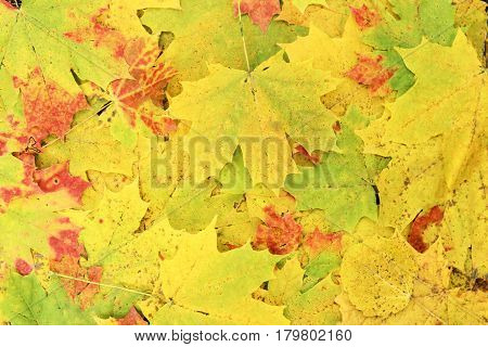 Colorful autumn maple leaves in the background