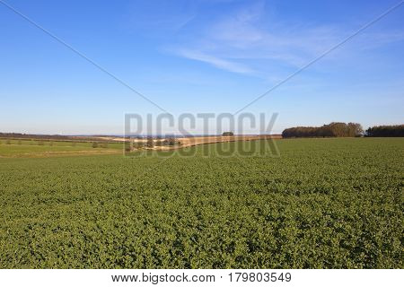 Oilseed Rape Field And Vale Of York