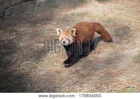 Portrait Of A Red Panda, (ailurus Fulgens)