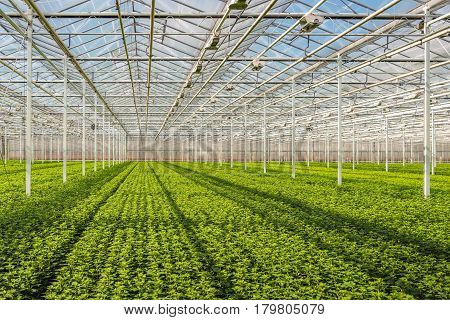 Long rows with lots of small chrysanthemum cuttings in the greenhouse of a specialized Dutch chrysanthemum cut flower nursery.