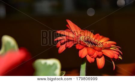 Macro view on orange colored flower with oval shaped petals and yellow stamen over blue background Gerbera flower