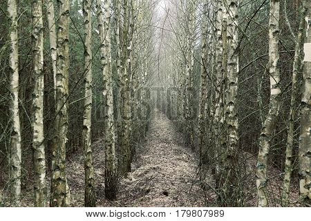 Birch grove receding into the distance. A narrow path between the trees