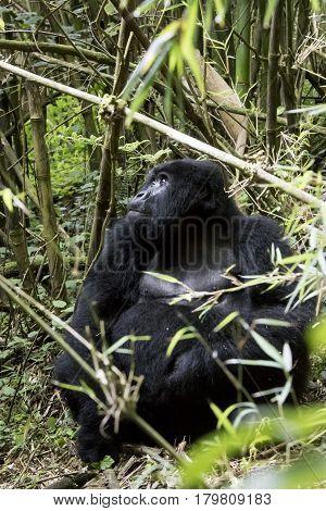 Female Mountain Gorilla In Volcanoes National Park, Virunga, Rwanda