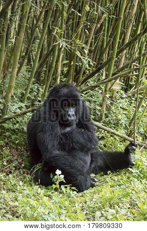 Adult Gorilla In Volcanoes National Park, Virunga, Rwanda
