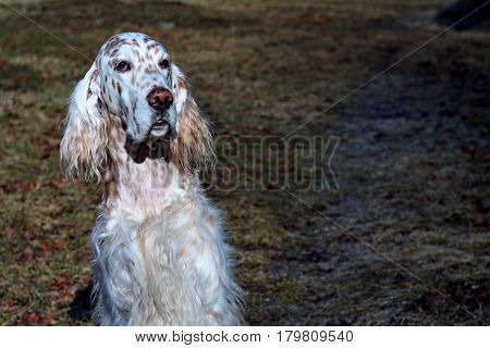 English setter, sweet dog face with long white hair in the spring park on green textured vintage background