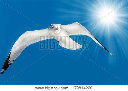 Ring billed seagull flying in a blue sky with sun rays over it's wing