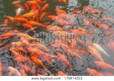 Koi swim in Pond. Movement of swimming in green water