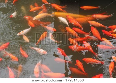 Koi carp fish in the lake or pond. Top view. Horizontal.