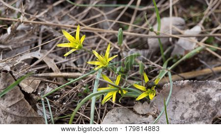 Spring flower Gagea lutea or Yellow Star-of-Bethlehem. Lily family edible medical herb. Eurasian flowering plant