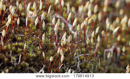 Microscopic moss Sporophyte Calyptra of Polytrichum commune common haircap great golden maidenhair. Floral background macro close-up. Plant great goldilocks haircap moss hair moss