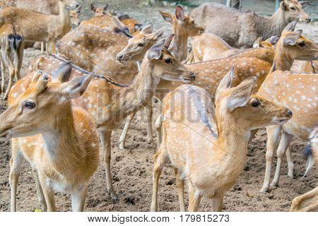 Herd of Sika deers, Vietnam, island, Nha Trang,