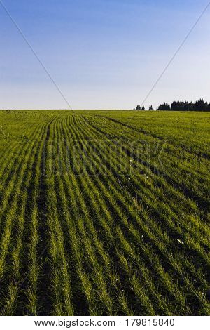 The field, with growing young grain crops