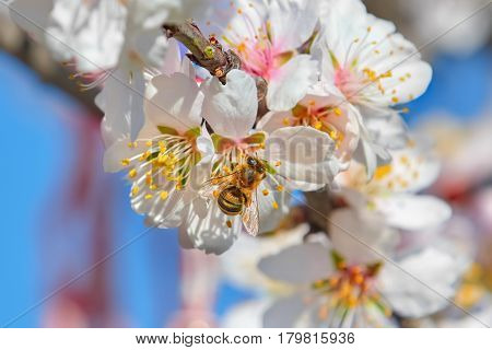 Bee Collects Pollen from the Almond Flower