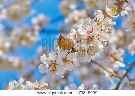 Branch of a Blossoming Almond Tree with Nut
