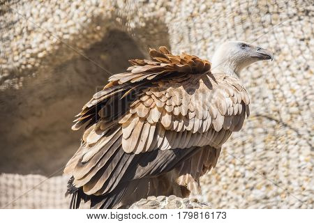 Closeup portrait of Griffon Vulture Gyps Fulvus