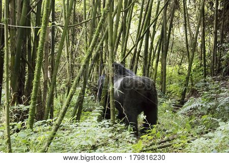 Silverback Gorilla In Volcanoes National Park, Virunga, Rwanda