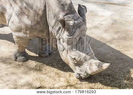 Rhinoceros eating grass under the sun, Ceratotherium Simun