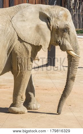 Elephant staying calm under the sun, Elephantidae