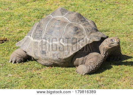 Giant tortoise basking in the sun Tortoise Aldabra giant