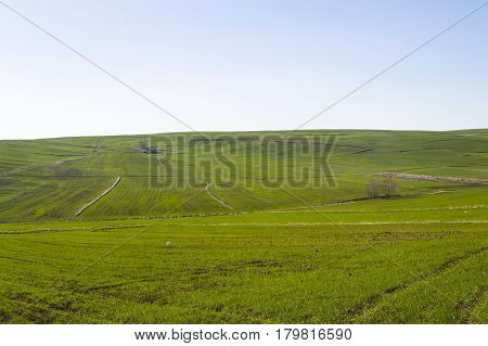 Wheat cultivated farmland, wheat germinating with the coming of spring