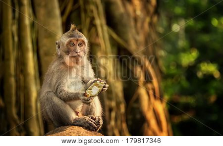 catarrhini Old world eating a mango sitting on a rock in a rainforest on a Sunny day