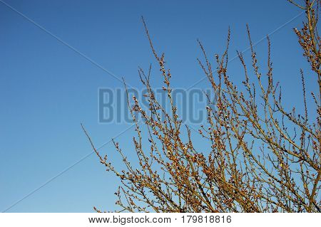 bud,tree buds,with the arrival of spring, fruit buds,fruit tree blossoms,