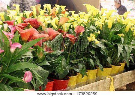 Blossomed In Spring Calla Flowers