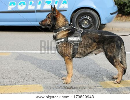 Italian police dog while patrolling the city streets before the football game to prevent terrorist attacks
