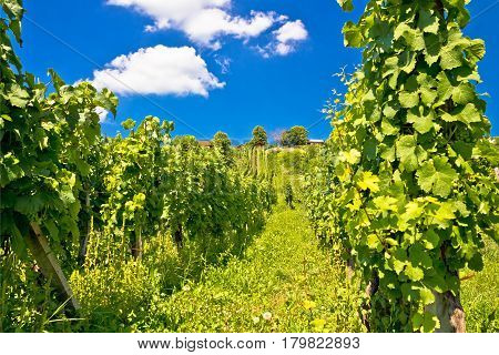 Vineyard On Idyllic Green Hill View