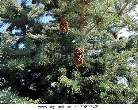 Fir cones on fir tree background in a sunny day