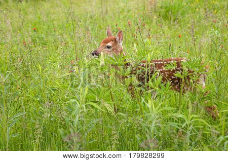 White-Tailed Deer Fawn (Odocoileus virginianus) Stands in Grass - captive animal