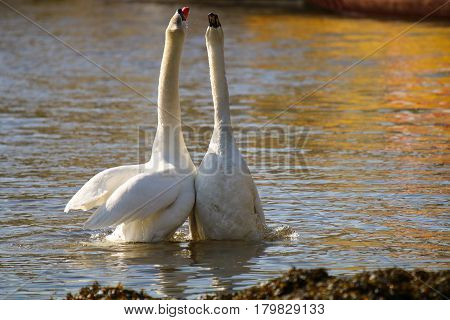 A pair of Mute Swans with necks extended in a courtship display following mating