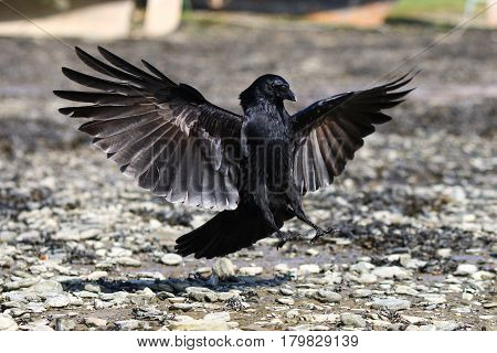 A Carrion Crow coming in to land with wing feathers spread