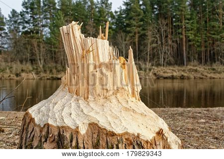 Stump of tree felled by European beaver Castor fiber in its habitat near river