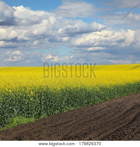 Blooming Canola Field In Spring